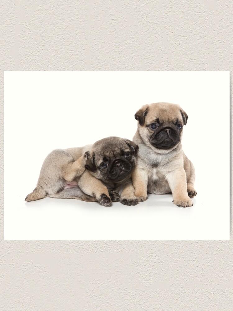 Funny Cute Pug Puppies Art Print By Utekhina Redbubble