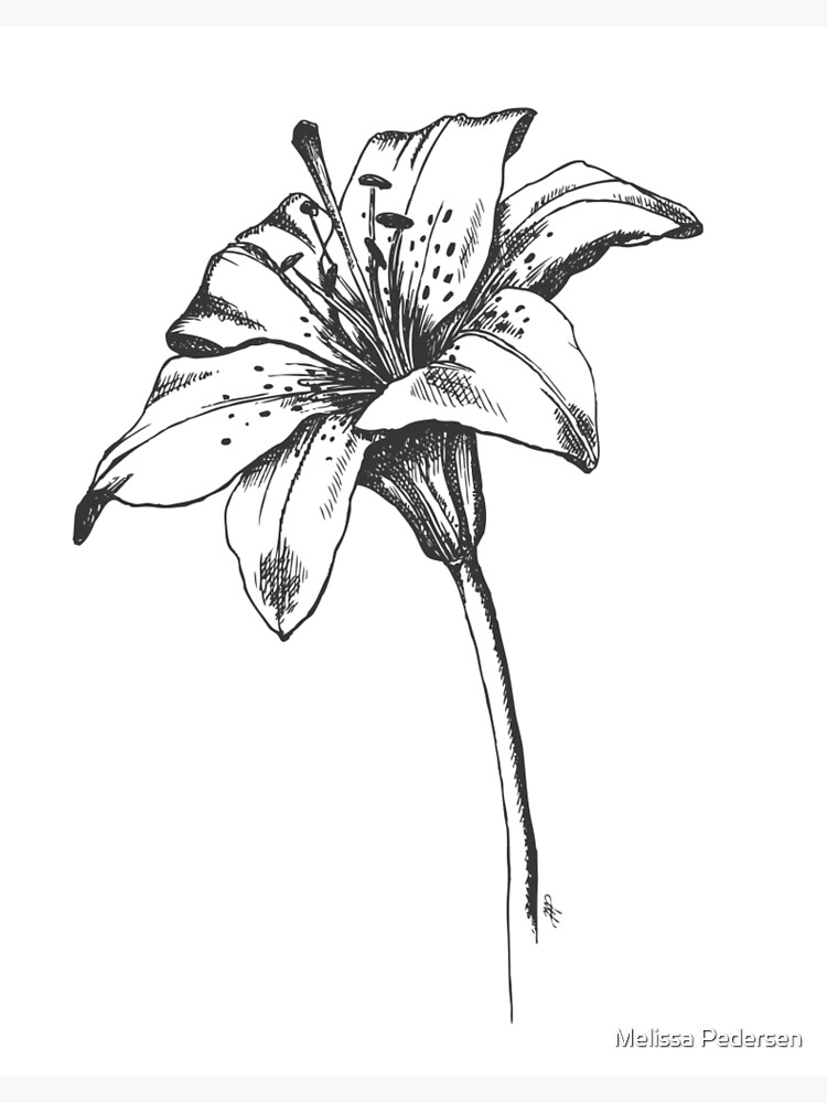 White Lilly Artist Sketch Art Board Print By Melissapedersen Redbubble