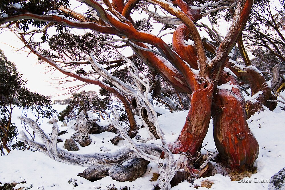 Snow Gum By Suze Chalmers Redbubble
