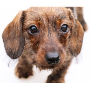 Fascinating Sale Mn Dapple Dachshund Puppies Chocolate Dapple