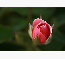 Pink Borne Photographic Print by Stephen Mitchell