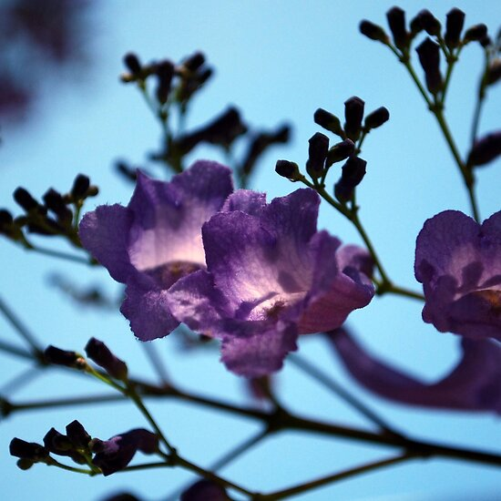 jacarandas against a blue sky by lozzar flowers and art