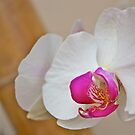 White Orchid by joesterne