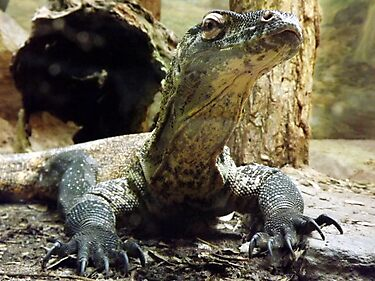 Komodo dragon baby