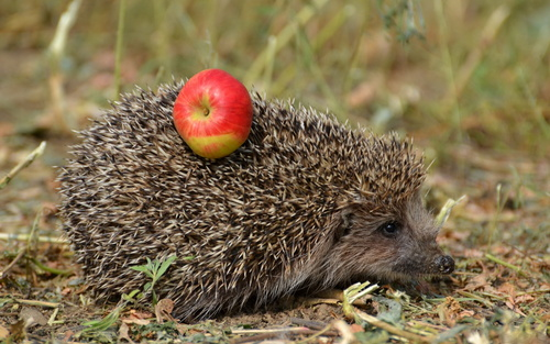 Зачем ежику яблоки на иголках?
