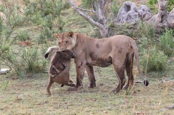 человечная львица