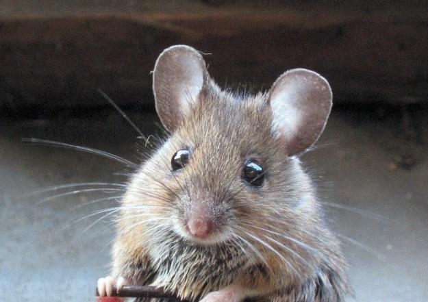 Если у вас в доме водятся мыши, промокните вату в мятном концентрате, или эфирном масле мяты, и положите в тех местах, где бывали мыши. Это отпугнет их