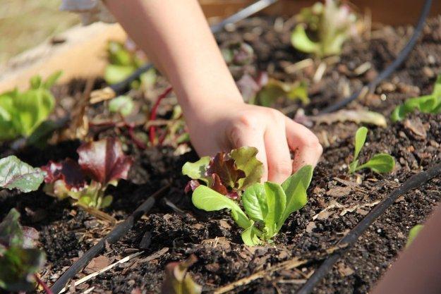 Посадить с детьми рассаду на грядке