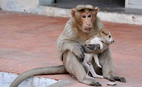 обезьяна приютила щенка