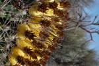 Ferocactus wislizeni