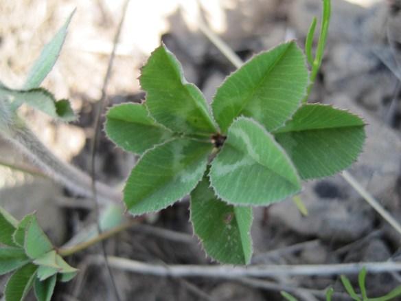 Trifolium_macrocephalum3