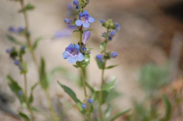 Mertensia_lanceolata (11)