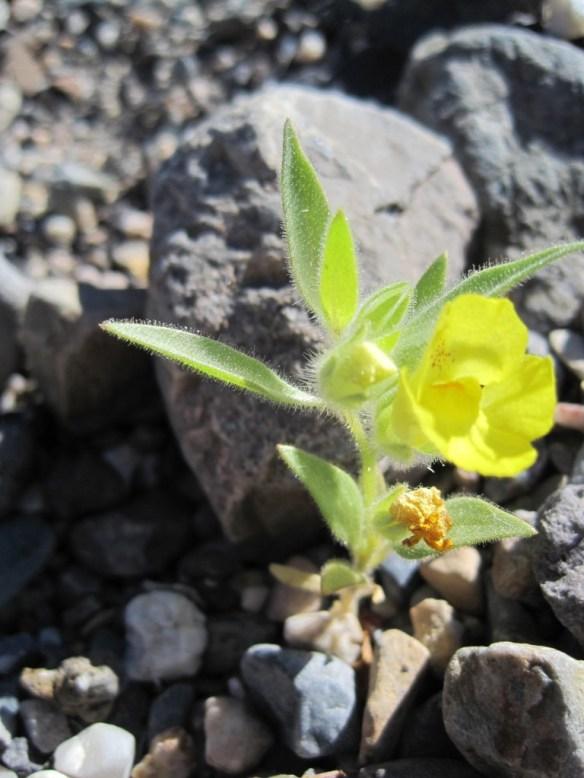 Mohavea_breviflora (3)