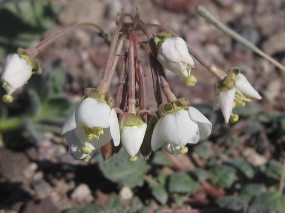 Camissonia_claviformis (4)
