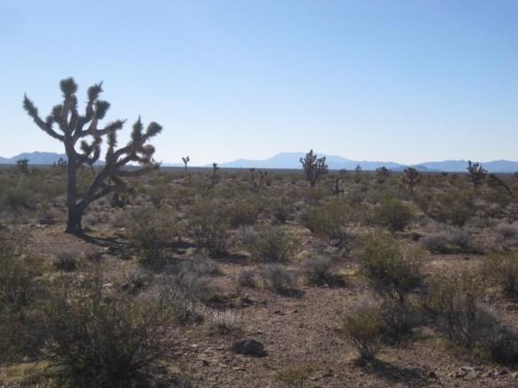 Yucca_brevifolia (4)