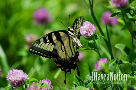Yellow Tiger Swallowtail Butterfly