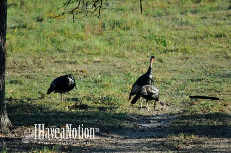 Wild Tom Turkeys