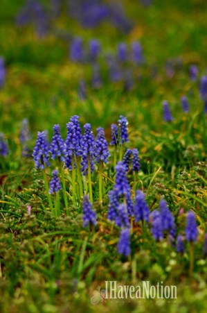 Spring Muscari patch