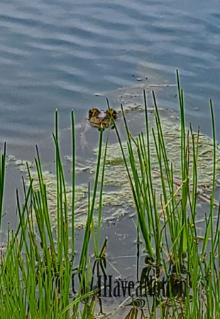Pop up toad in the green pond grass