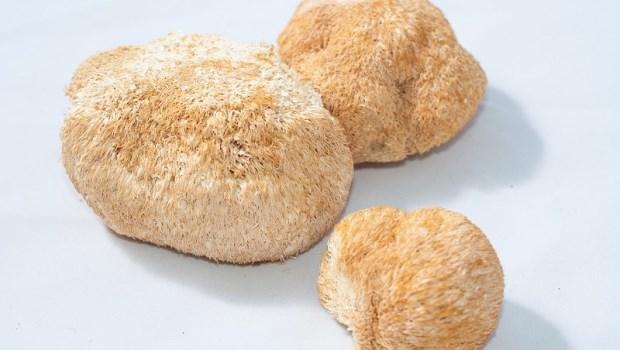 原來猴頭菇這麼厲害!抗發炎、抗潰瘍...3大神奇效用告訴你不吃有多可惜