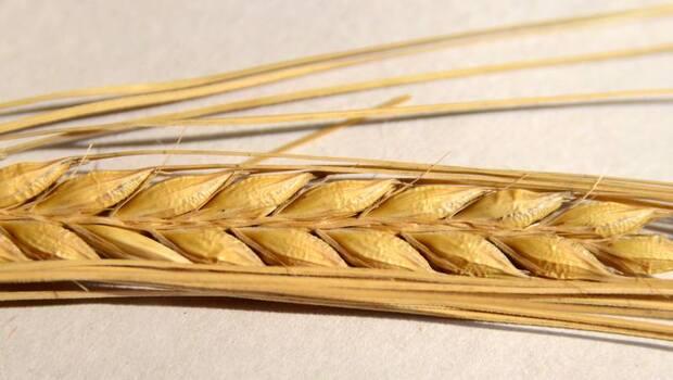 什麼是「超級大麥」?它是台灣1/4便祕人口的救星!營養師:膳食纖維竟是糙米的5.4倍