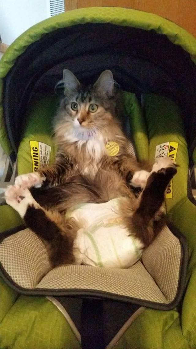 cat in diaper