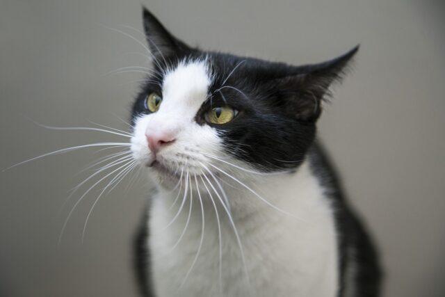 tuxedo cat whiskers