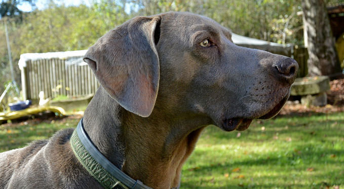 Improve Your Weimaraner S Skin Amp Coat With This One Simple