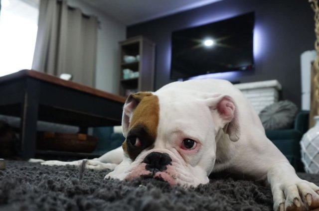 carpets cause dog allergies
