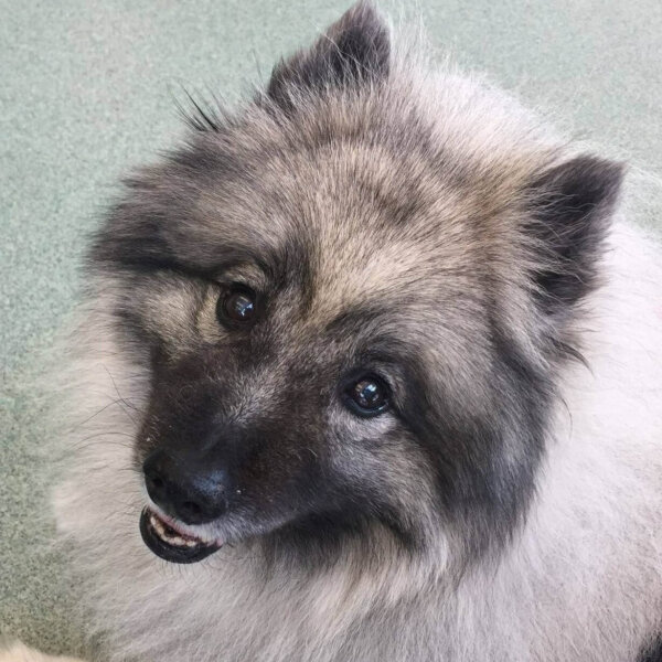 rescue Keeshond