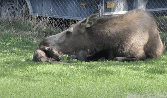 Moose Grooming Calf