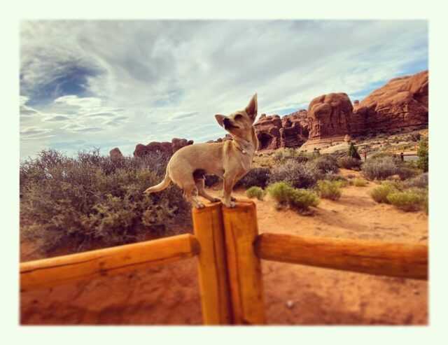 Chihuahua on Fence