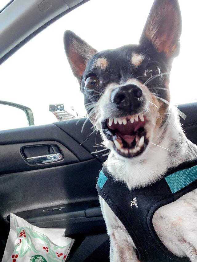 Little dog screaming