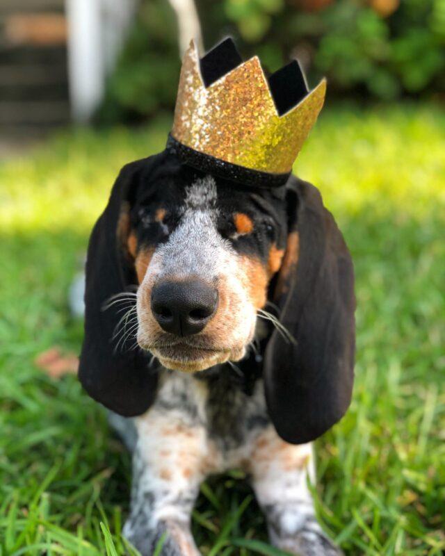 Blind dog wearing crown
