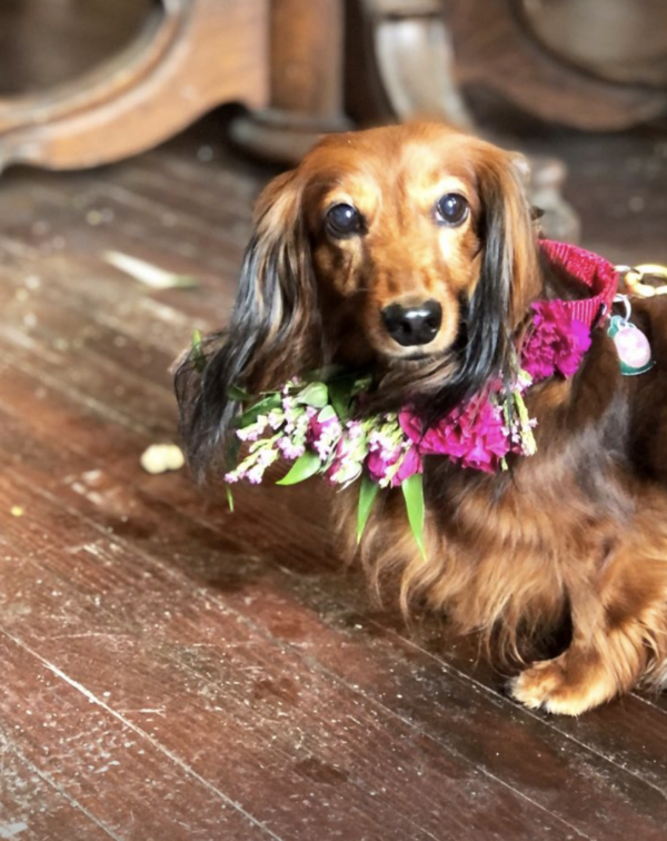 Dachshund Delivering Flowers