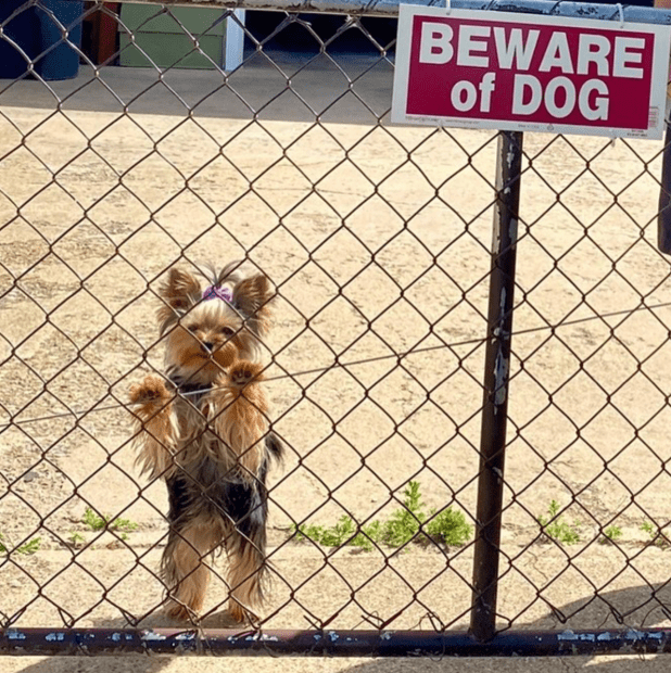 yorkie-with-beware-of-dog-sign