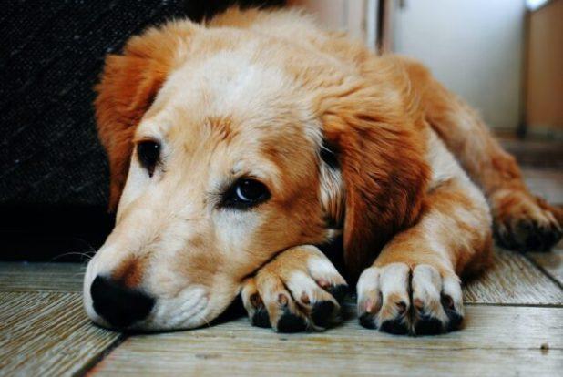 Puppy in pain