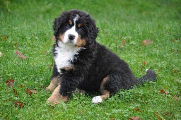 Bernese Mountain Dog puppy potty training