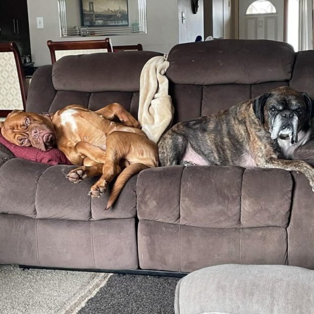 Dogs on human couch