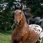 A Guide To Understanding Appaloosa Horse Coat Genetics