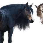 Equine 411 All About Draft Horses