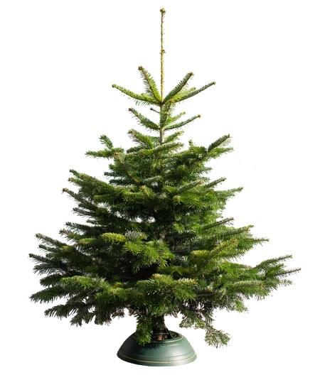 Nordmanntanne als Weihnachtsbaum in der Größe 130cm