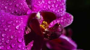 purple orchid with water drops