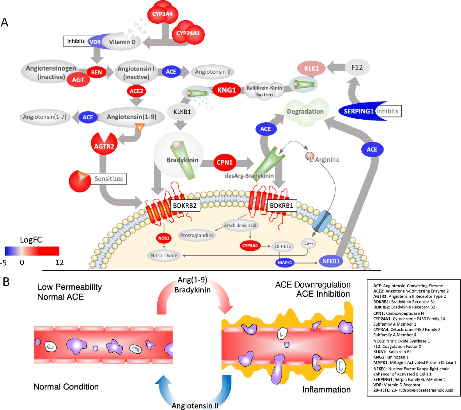 A mechanistic model and therapeutic interventions for COVID-19 involving a  RAS-mediated bradykinin storm | eLife