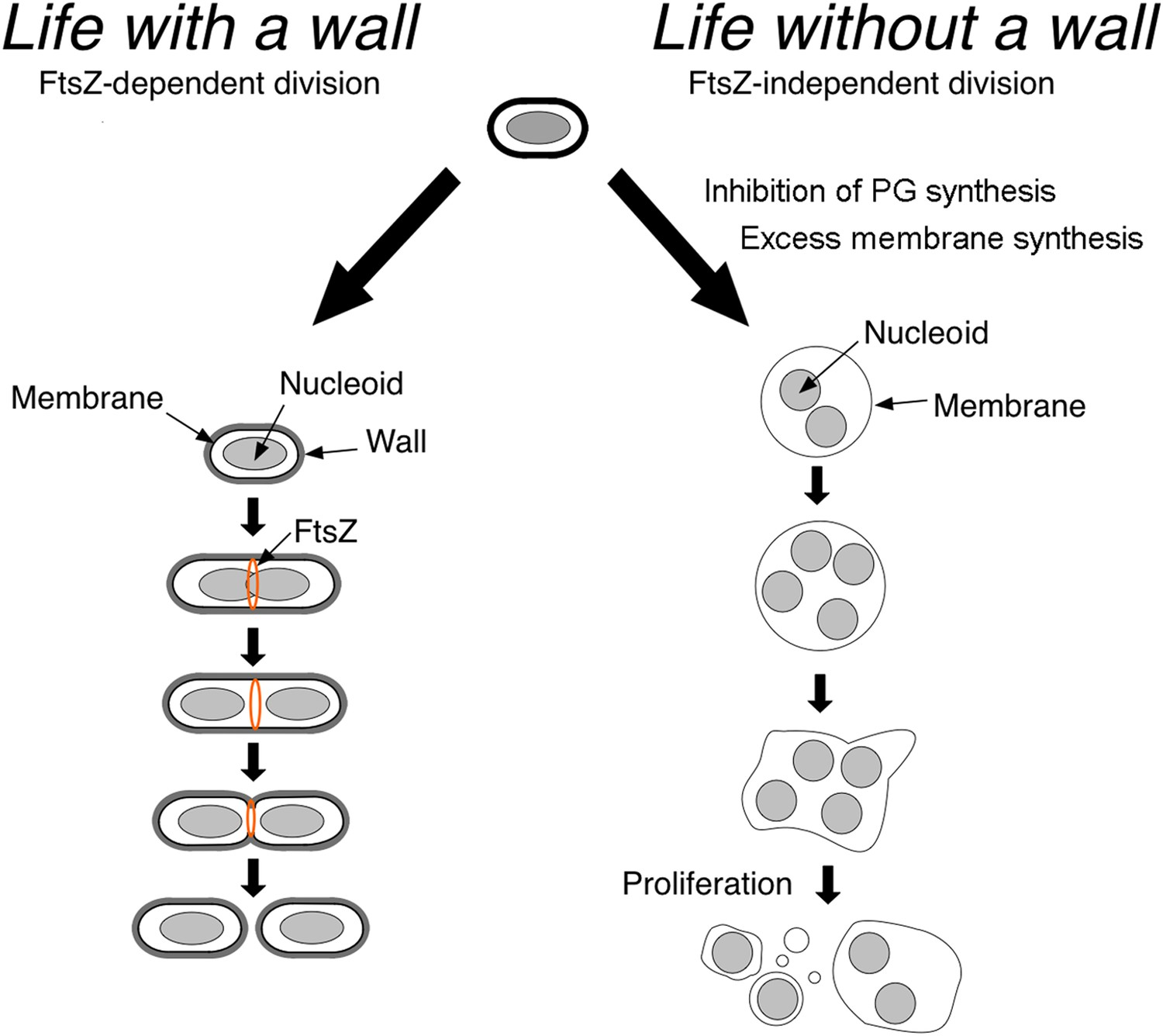 Bacterial Proliferation Off The Wall