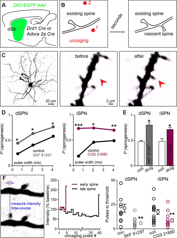 Neuromodulation Of Excitatory Synaptogenesis In Striatal
