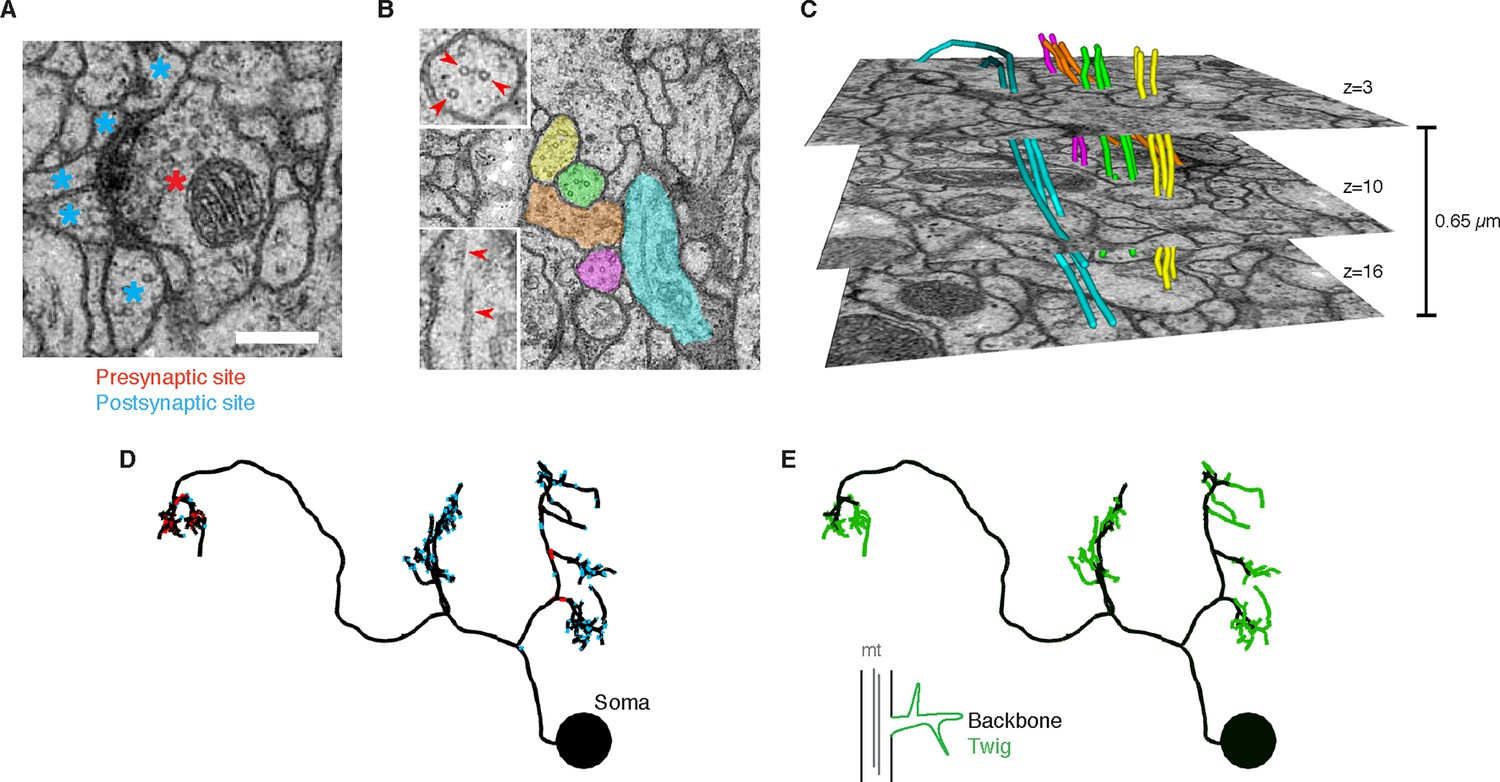 The Anatomy Of A Synapse Coloring Answers