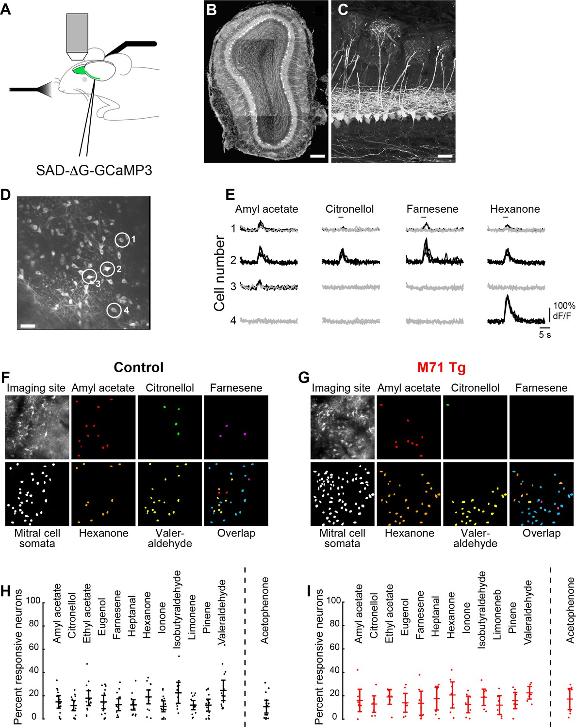 Massive Normalization Of Olfactory Bulb Output In Mice