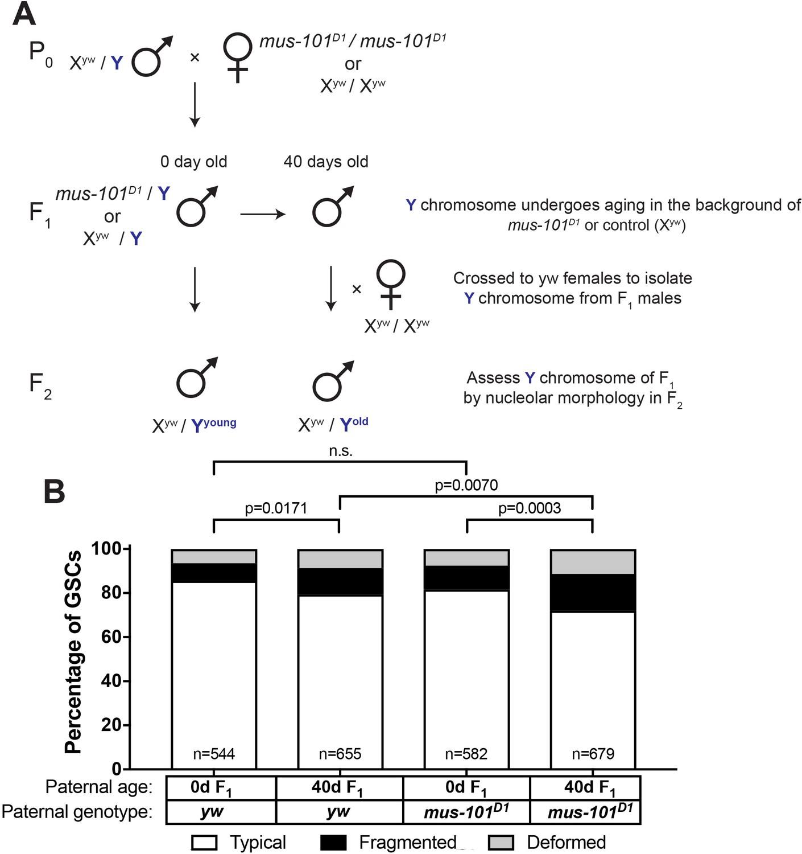 Transgenerational Dynamics Of Rdna Copy Number In Drosophila Male Germline Stem Cells