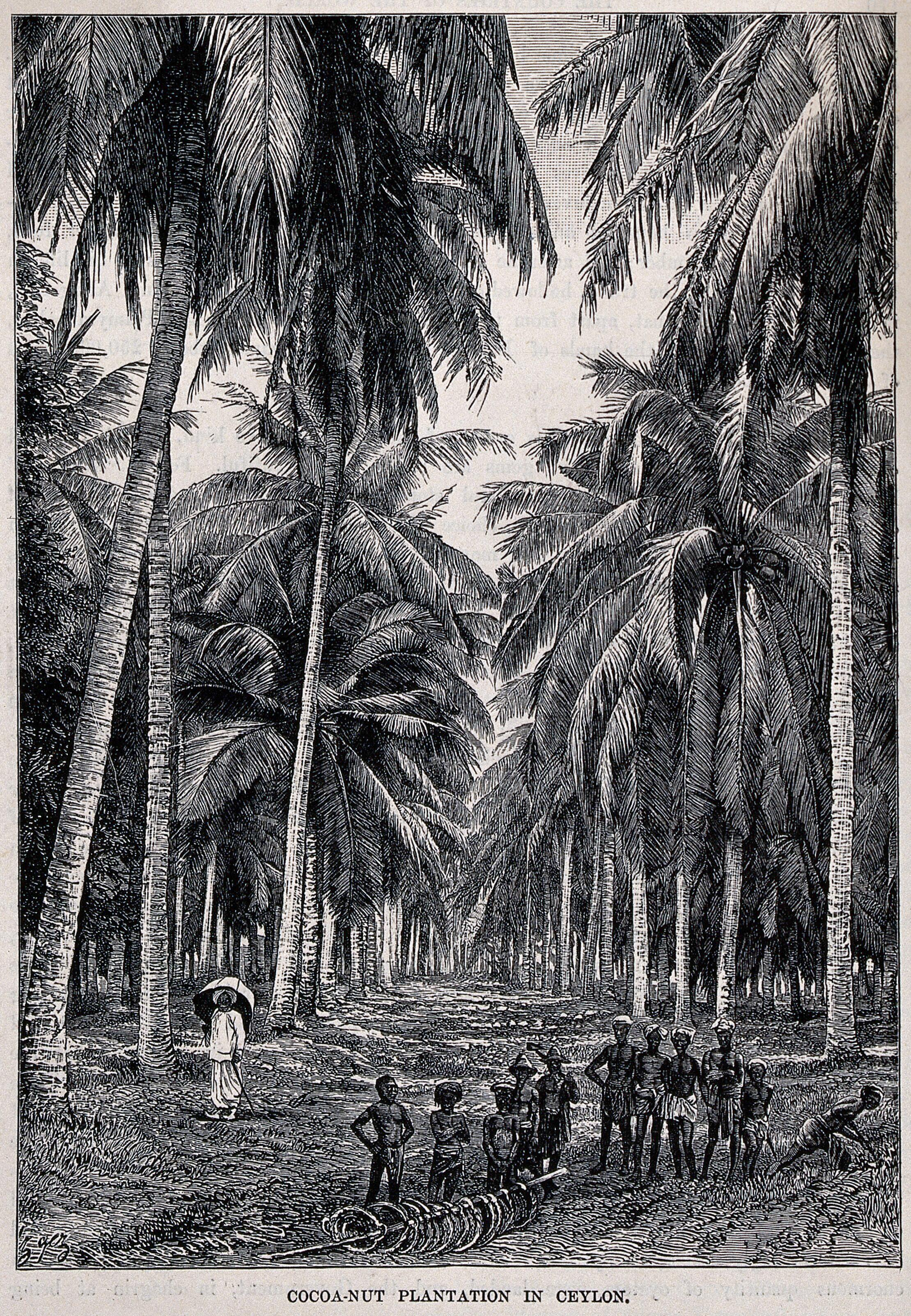 Agriculture A Coconut Tree Plantation In Ceylon Sri Lanka With Workers In The Foreground And An Overseer Off To The Left Wood Engraving Wellcome Collection